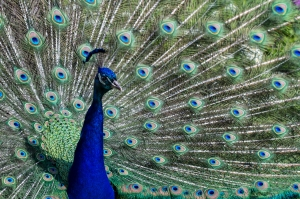 And spotted by the tulips this beautiful male peacock, extravagant eye-spotted tail covert feathers!