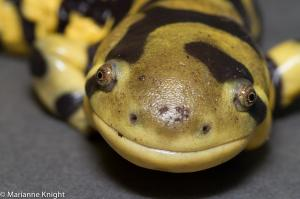 Custard, the Salamander