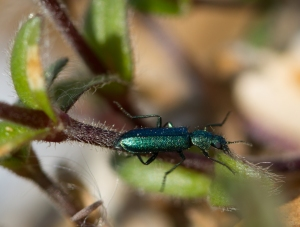 Tiger Beetle - Took a few shots to get this, but I was pleased with snapping this tiny creature with some degree of clarity.